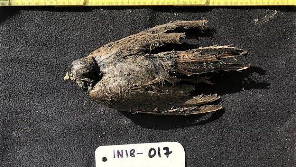 25018110 8028709 Pictured the 46 000 year old icebird that was so well preserved  m 24 1582289604683 Copy 1 600x338
