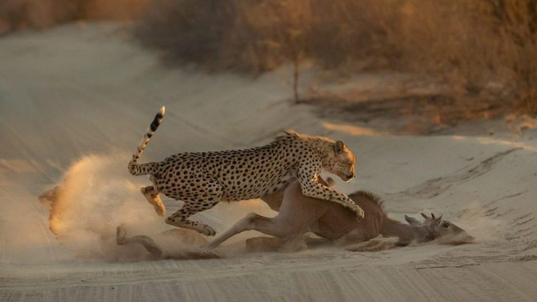 Antilopa Gepardi Afrike e Jugut 1100x620