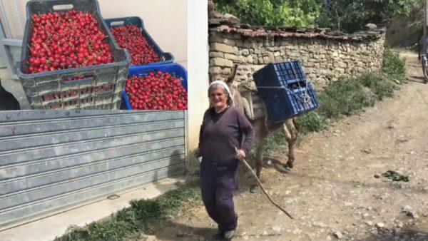 Mungon rruga, qershitë e Godoleshit në Elbasan pa mundësi transporti