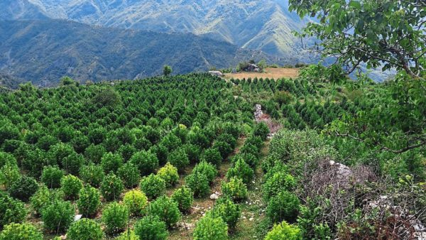 Raporti i OKB për drogën, Shqipëria kryeson në Europë për prodhimin e kanabis