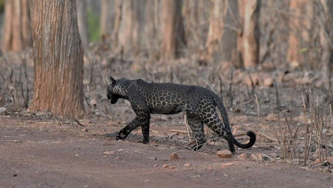 leopardi 1100x620