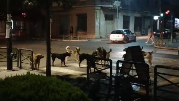 Qentë pushtojnë bulevardin e Elbasanit, sulmojnë edhe njerëzit