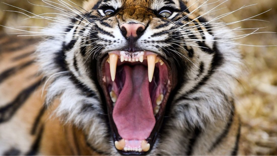tigri 1100x620