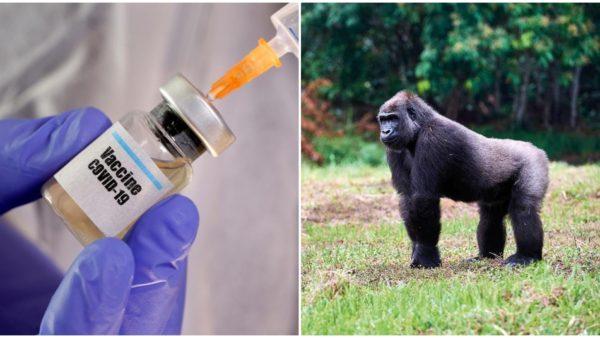 Italia eksperimenton vaksinën premtuese ndaj pandemisë, i vjen në ndihmë virusi i një gorille