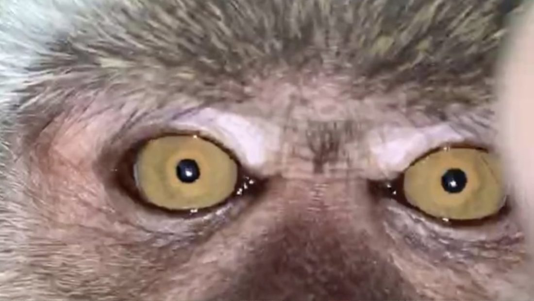 majmuni 1100x620