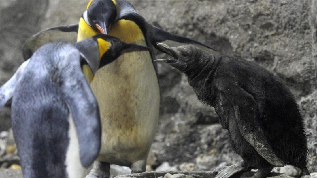 Oma pinguini 1100x620