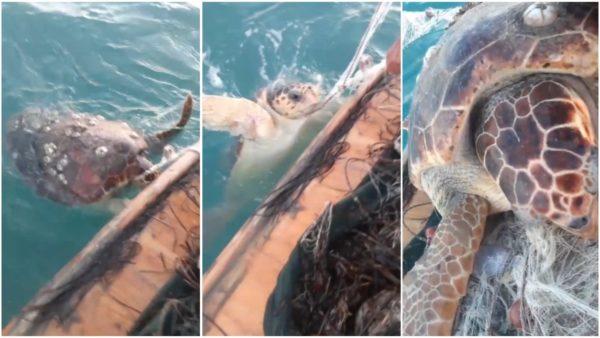 Breshka e rrallë gjendet në brigjet e Vlorës