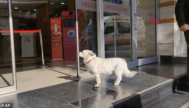 Qeni ndjek ambulancën që merr pronarin e tij, dhe pret gjashtë ditë jashtë spitalit