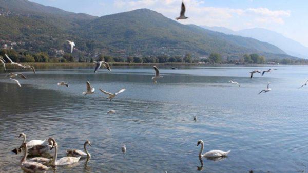 Ulja e temperaturave dhe ndalimi i gjuetisë rrisin numrin e shpendëve në Liqenin e Prespës dhe të Pogradecit