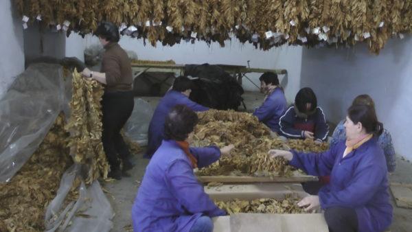 Të mashtruar dhe të vjedhur, fermerët e duhanit në Dumre të papaguar prej 5 vitesh