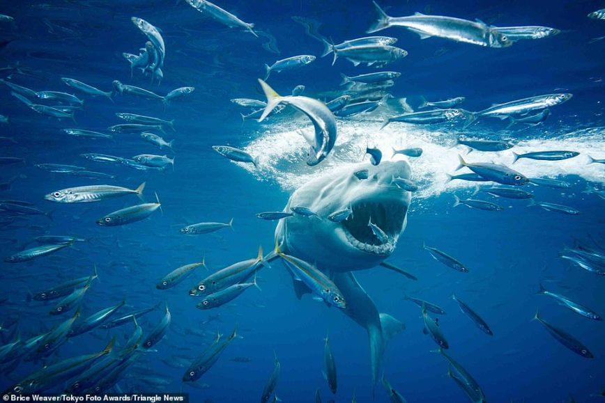 """Një peshkaqen duke gjuajtur, një zog që puth gjarprin, fotot më të mira të """"Tokyo International Foto Awards 2020"""""""