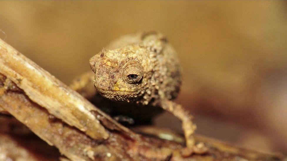 Zbulohet reptili më i vogël në botë