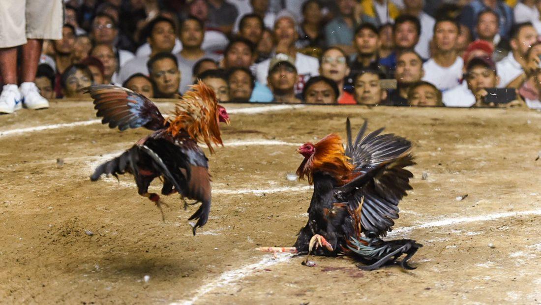 20180307 cockfight birds fighting 1100x620
