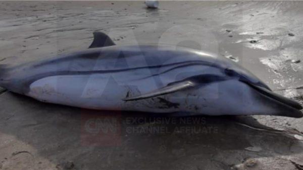 Dallgët nxjerrin delfinin e ngordhur në bregun e Durrësit