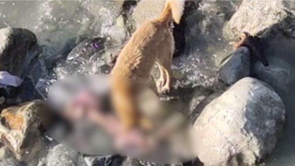 Video e tmerrshme nga India, qentë hanë trupat e viktimave nga Covid
