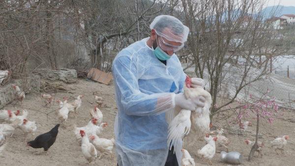 Gripi i shpendëve në Shqipëri, H5N8 rrezik i ulët për njerëzit. Ushqimet të gatuhen mirë