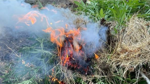Operacion antikanabis në Vlorë, bimët narkotike asgjësohen me djegie