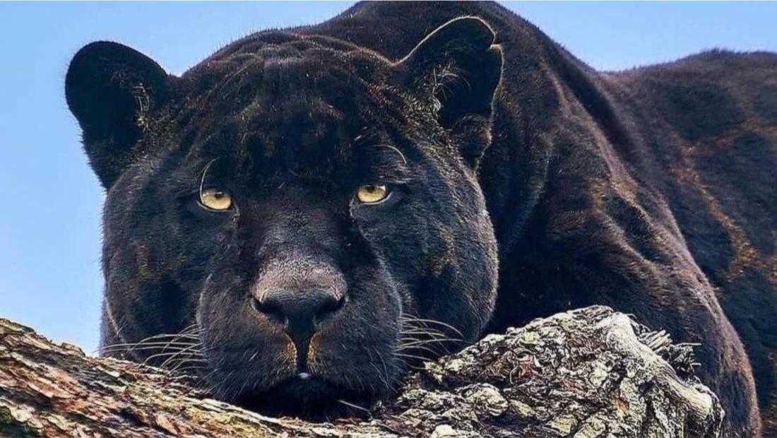 naron jaguar 1100x620