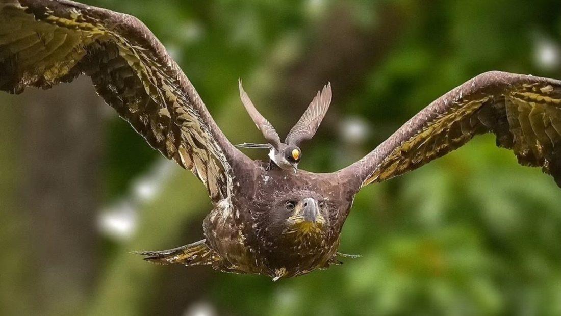 Harabeli ben nje xhiro mbi shqiponje 1100x620