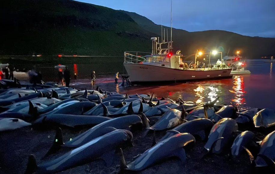 """Masakra më e madhe e delfinëve, vijon tradita """"barbare"""""""