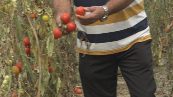 Fidanët me probleme, fermerët paralajmërojnë protesta: Harxhuam miliona lekë