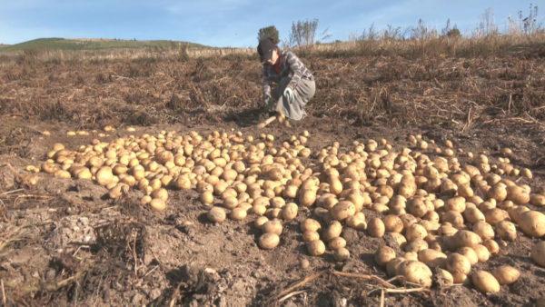 Shishtaveci dhe Stëbleva e patateve, fermerët me shpresën te Zoti për të shitur prodhimin